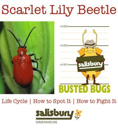 Scarlet #Lily #Beetle - Life Cycle | How to Spot It | How to Stop It - by Rob Sproule, Salisbury Greenhouse