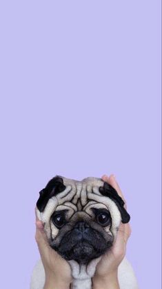 Cute-Puppy-Pug-iPhone-Wallpaper-iphoneswallpapers_com. - Cute Puppy Pug iPhone Wallpaper iphoneswallpapers_com. White Wallpaper For Iphone, Cute Dog Wallpaper, Tier Wallpaper, Animal Wallpaper, Seagrass Wallpaper, Paintable Wallpaper, Emoji Wallpaper, Puppy Wallpaper Iphone, Colorful Wallpaper