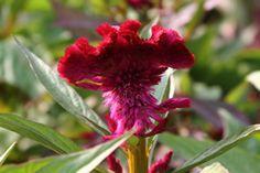 coxcomb flowers