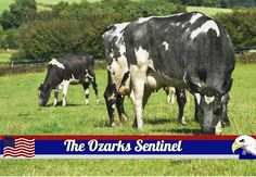 Youths interested in dairy industry can register for 4-H program   The Ozarks Sentinel