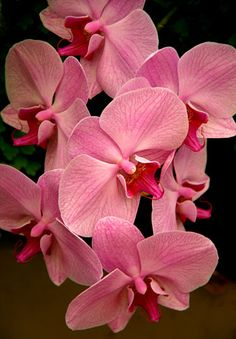 //Pink Orchids #flowers
