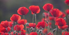 Poppies by Camilo Margelí on 500px