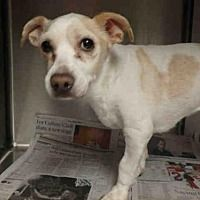 STILL LISTED. 2/13/18. Van Nuys, California - Chihuahua. Meet MOLLY, a for adoption. https://www.adoptapet.com/pet/20750958-van-nuys-california-chihuahua-mix Pets here are not kept long. Please rescue now! .Senior dog.