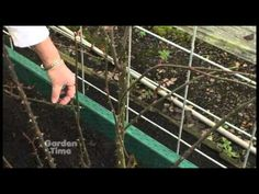 How to prune a climbing rose, and how to trellis them so you will get the most blooms.