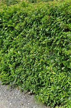 Portugal Laurel Hedge