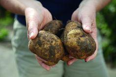 Kartoffel-Anbau auf Balkon und Terrasse