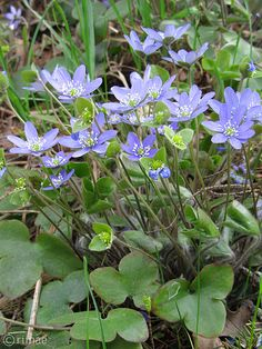 Sinivuokko, Common Hepatica (Hepatica nobilis)  #Finland