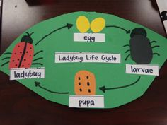 ladybug life cycle diagram - students could also place pictures and match to the words as a center activity