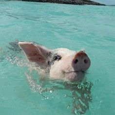 Swimming pigs in the bahamas!