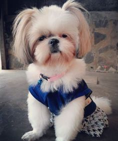 Belongs to@indriee_kyuth! Tag with#shihtzusofinstagramuse for a chance to be featured! #dogs#small dogs#teacup dogs#cute dogs