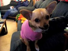 ✿ڿڰۣ(̆̃̃•Aussiegirl What Dogs Are Really Thinking, I have one just like him at home, and yes he has a pink shirt in his collection, lol