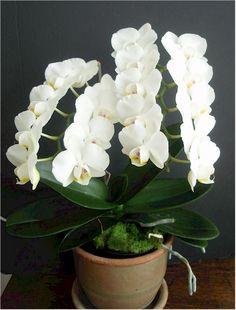 Phalaenopsis Amabilis | Phalaenopsis amabilis orchid, as white as snow