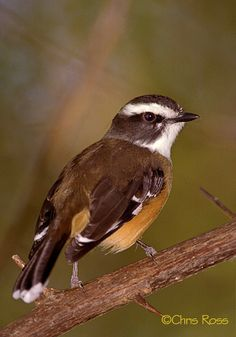 White-browed Robin(Poecilodryas superciliosa) photographed by Chris Ross at Kunnanurra, WA, Australia.
