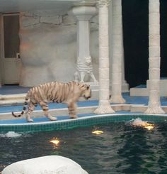 White Tiger at the Mirage