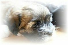 Havanese puppy 'Puckie' - photo made by Anne-Fieke Later