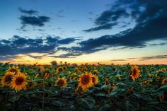 Follow this link to read about the history of the Sunflower <3