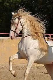 26 Best Perlino Images On Pinterest Beautiful Horses