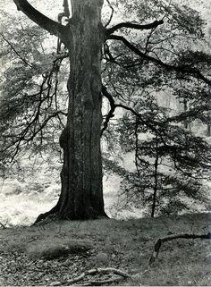 Albert Renger-Patzsch - Alte Buche, Arnsberger Wald, ca. 1950