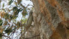 De iguana rent de rots op wanneer die op de foto wordt gezet in het christoffelpark North Coast, Flora, Plants