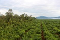 """One of PT Kayung Agro Lestari's """"high conservation value"""" forests (left) is separated from the rest of the oil-palm plantation by a short moat. The plantation is within sight of the mountains of Gunung Palung National Park."""