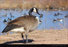 Canadian Geese, Rio Grande, Albuquerque