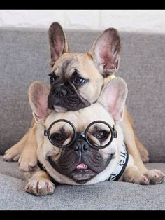 Hipster Geek French Bulldogs