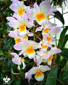 Orchideengarten Karge in Dahlenburg — Dendrobium farmeri   #orchids #Orchidee #Orchideen...
