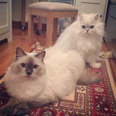 New mat for us#cats #kitten #lovecats #ragdoll #chinchilla #Persian #kitten #meow #lovecat