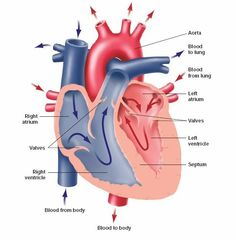 unlabeled heart diagram cross section wiring car radio the anatomy pinterest human body poems