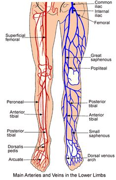 Lower Extremity Anatomy: Parts and Functions | New Health Advisor