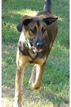 Meet Quincey, a Petfinder adoptable Shepherd Dog | Manchester, CT | Quincy is a 1y/o shepherd mix. He was found roaming the neighborhood as a stray. Quincy is really...