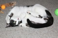 Elliot is a wonderful young 2 year old kitty who needs a foster home desperately.  He is sweet and playful.