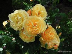 Graham Thomas climbing rose, from David Austin Roses. Beautiful rich yellow blooms with a strong, classic fresh rose scent.