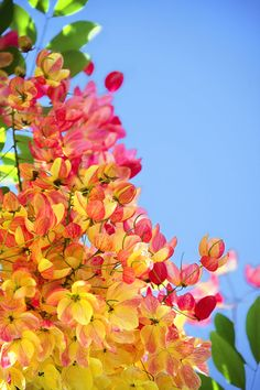 Rainbow Shower Tree  close-up shot of the plentiful blooms on a Rainbow Shower tree in Hawaii. So pretty!