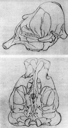 Drawings by Johann C. W. Waitz for J. W. Goethe, Weimar 1784. - Goethe had got the elephant skull transported from Kassel in order to examine it. He let Waitz draw 4 prospects according to Pieter Camper s method.