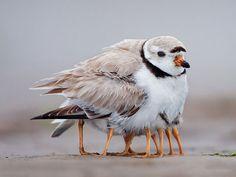 Mamães pássaro
