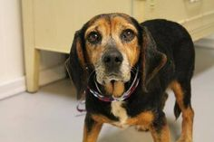 RESCUED>NAME: Zoey  ANIMAL ID: 24168298  BREED: Beagle  SEX: female  EST. AGE: 12 yr  Est Weight: 21 lbs  Health: heartworm neg  Temperament: dog friendly, people friendly  ADDITIONAL INFO: RESCUE PULL FEE: $29  Out of time