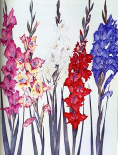 Gladioli by Pamela Glasscock. Watercolour.