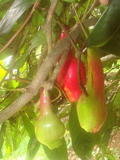 Giant Laulau, Syzygium Megacarpa, Red Java Pear