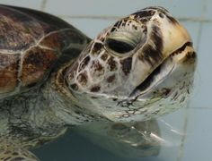 915 coins removed from ailing sea turtle