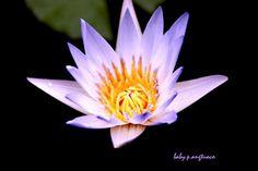 lotus flowers mean regrowth