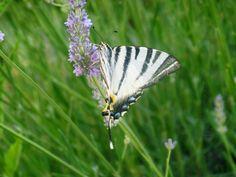 """papillon """"le flambé"""" ou .. Iphiclides podalirius dans mon jardin"""