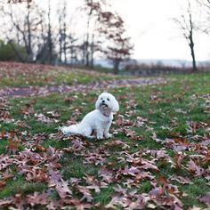 Almost 50 degrees a week before Christmas?! What is going on out there? #maltipoo #maltipooshanti #maltese #igdogs #instadog #igclubdogs #lovedogs #lacyandpaws #lovepuppies #animal #atdogs #cutedog  #cane #chien #canine #cachorro #perro #pets #dog  #dogsofinstagram #dogslife #dogsofig #nycdogs #poodlemix #petsagram #instadogs #doggy #puppy #paws  #barkbox by maltipoo_shanti