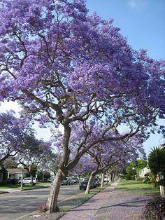 Jacaranda Trees Which Are Native To South America A Very Por Tree In Bright Purplepurple Flowerspor