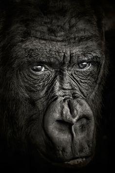 99 потрясающих портретов животных, горилла