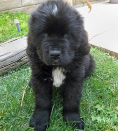 Newfoundland Baby. Hopefully I will be able to get one soon!