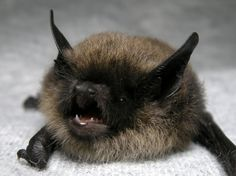 "Whiskered bat - Myotis mystacinus. I picture him saying ""gooooooooooooooooooooooo awayyyyyyyyyyyy!!!"" awwww"