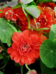 Nasturtium 'Hermine Grashof' - Fully double and frilly blooms have a trailing habit. Very easy to grow from seed. Garden Whimsy, Sky Garden, Blue Garden, Summer Garden, Garden Plants, Summer Flowers, Red Flowers, Beautiful Flowers, Growing Seeds
