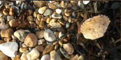 A walk on the local beach: shingle, bladderwrack, crabshell. South East England, East Sussex, The Locals, Beach, The Beach, Beaches