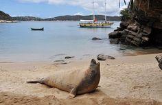 ¿Vacaciones? Lobo de mar descansando en la playa de Búzios, Rio. http://Glo.Bo/SL9Sdy Animal provenientes de la Patagonia argentina, dicen los biólogos.